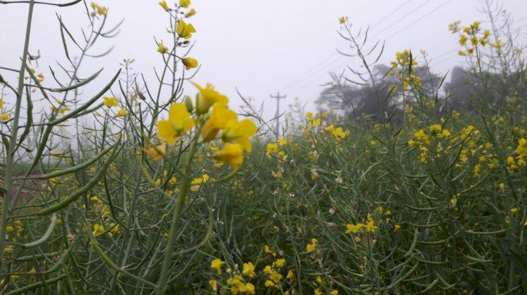 Boa carga de flores nos cachos indica um ótimo rendimento da canola