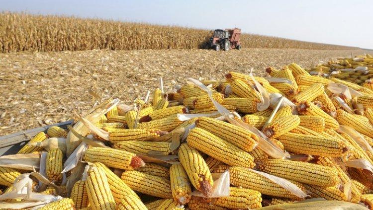 Vai faltar milho até janeiro: Preços em alta