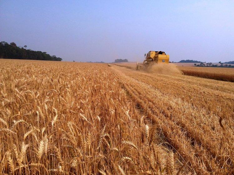 Estado colhe dois por cento da área total cultivada com trigo