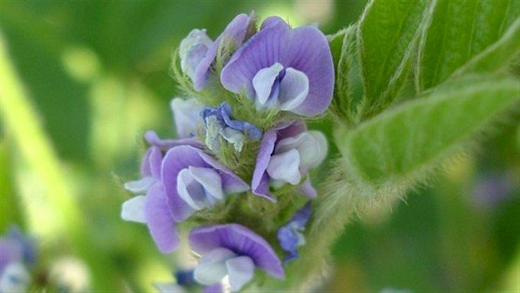Período da floração é determinante na soja