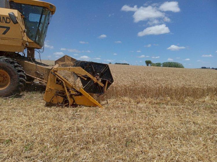 Colheita do trigo chega a 95% área total cultivada no Estado