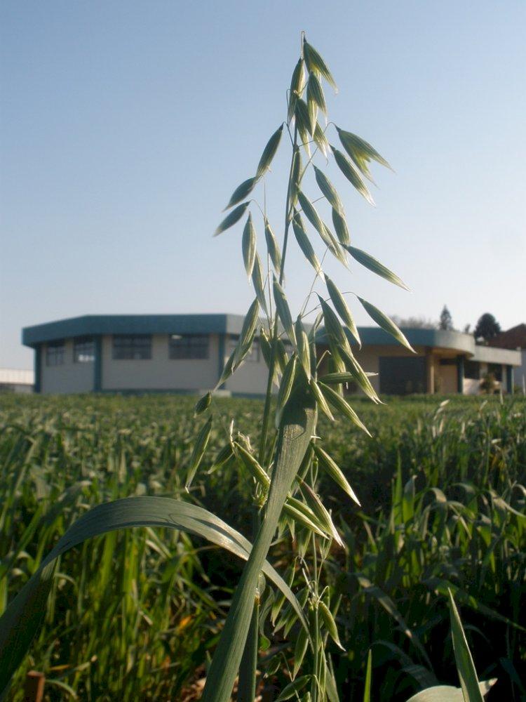 Versatilidade da cultura de aveia faz aumentar área plantada no Brasil