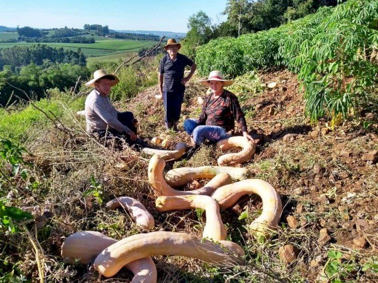 Produção de 3 mil quilos de abóbora surpreende em propriedade de Porto Mauá