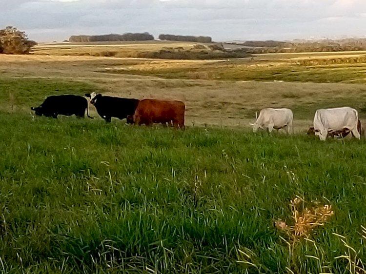 Temperaturas amenas melhoram a engorda do gado de corte