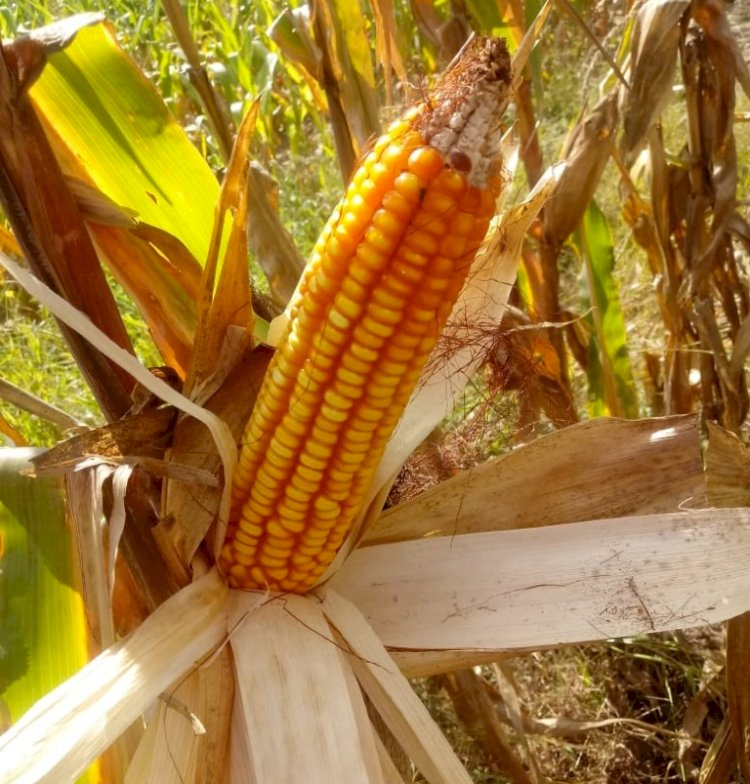 Colheita do milho atinge 77% área cultivada no RS