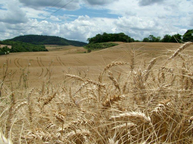 Produtores gaúchos planejam safra de trigo