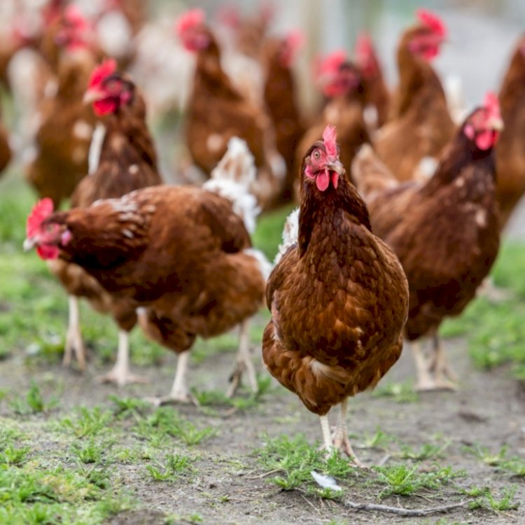 OIE divulgará novas regras para bem-estar animal na produção de ovos comerciais