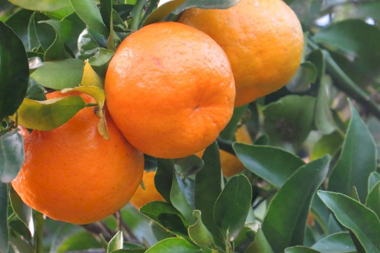 Clima favorável proporciona maior intensidade de cor e sabor nos citros