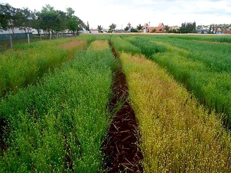 Setrem e Celena Alimentos firmam parceria para lançamento de cultivares de linho