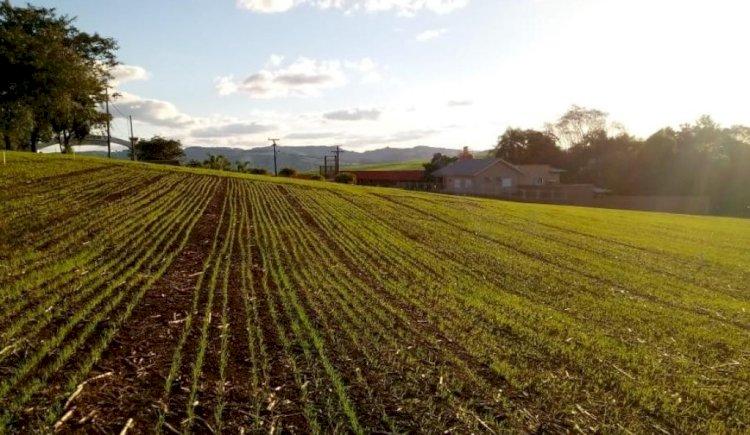 Plantio do trigo chega a 75% área prevista para o RS